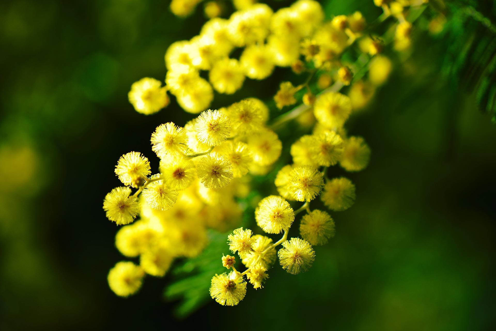 fête du mimosa saint Trojan les bains
